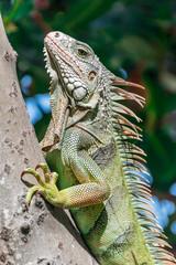 Iguana In Puerto Rico