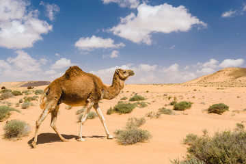 Dromedary camel walking in the desert, Wadi Draa, Tan- Tan, Moro