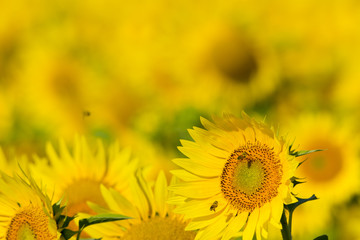 summer sunflower field scene