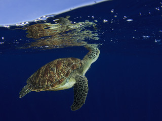 Sea Turtle underwater with ocean surface and sky