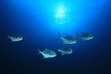 Jackfish school of trevally fsh