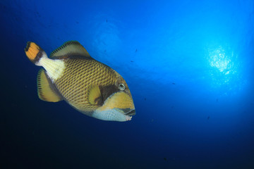 Titan Triggerfish fish