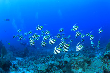 School Bannerfish fish with scuba divers in background