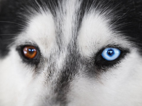 Portrait of a dog close-up: eyes of a husky with heterochromia, blue and beige eyes