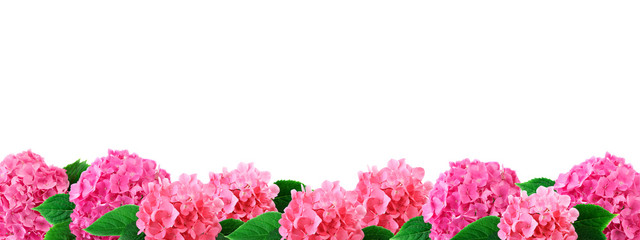 Hydrangea flowers border pink hortensia flower with leaf isolated on white background with copy space