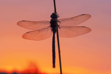 emperor dragonfly with red morning sky