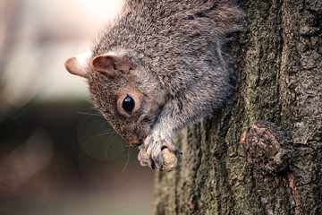Squirrel in Tree Eating Nuts Close-Up