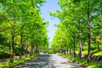 新緑  メタセコイアの並木道