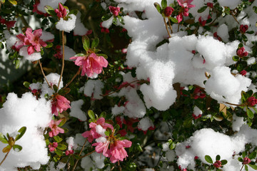 Blooming Azalea Bush Covered in Melting Snow