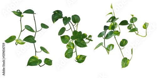 Set of hanging heart shaped leaves vine devils ivy golden pothos set of hanging heart shaped leaves vine devils ivy golden pothos isolated mightylinksfo