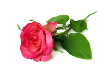 Single pink rose on white background.