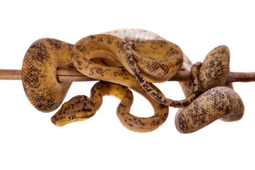 Red Amazon tree boa isolated on white