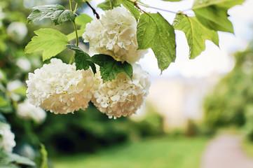 Deurstickers Hydrangea Beautiful large white hydrangea paniculata blossoms