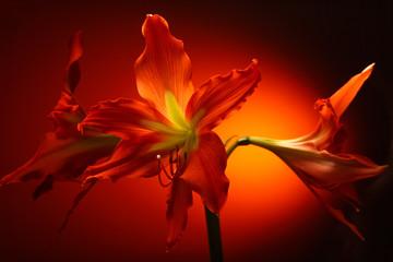 Amaryllis flowers in blossom