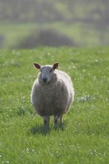 Wall Mural - Sheep on a farmland in East Devon, England