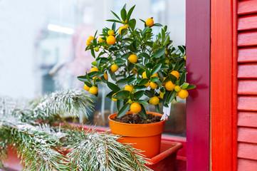 Small orange tree in flowerpot.