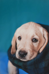 Labrador puppy with sad eyes portrait with plaid scarf