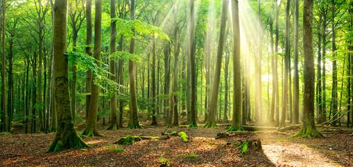 Unberührter naturnaher sonniger Laubwald, Sonnenstrahlen dringen durch Nebel Wall mural