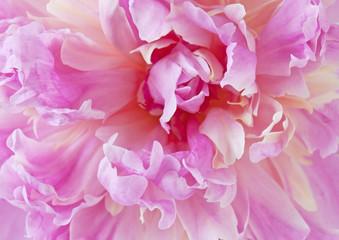 Beautiful peony flowers macro