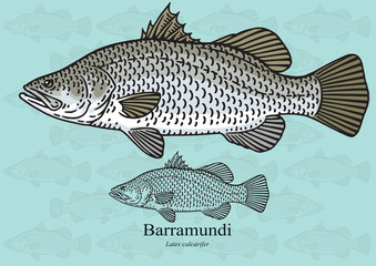 Barramundi, Australian Sea Bass. Vector illustration for artwork in small sizes. Suitable for graphic and packaging design, educational examples, web, etc.