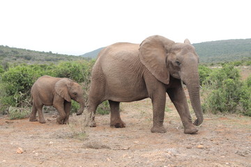 Elephant baby and mom
