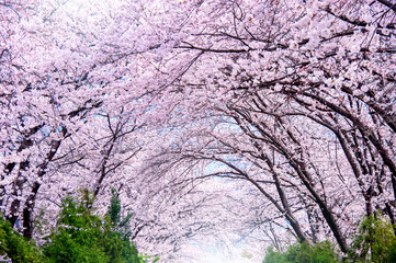 Wall Mural - Cherry blossom in spring. Jinhae Gunhangje Festival is the largest cherry blossom festival in South Korea.