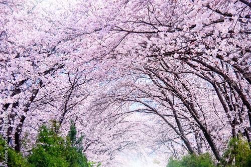 Wall mural Cherry blossom in spring. Jinhae Gunhangje Festival is the largest cherry blossom festival in South Korea.