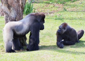 Male and Female Silverback Gorilla's Staring at Each Other