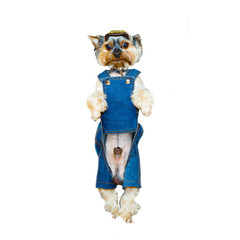 Wonderful Small decorative dog in a suit and cap standing on his hind legs. Breed the Yorkshire terjer on an isolated white background.