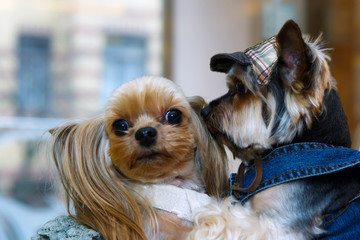Funny little lapdog dressed in clothes kissing. Breed the Yorkshire terjer - dogs for the rich lady. Clothing for Pets is lifestyle. Fashionable bride and groom - pet animals.