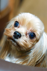 Portrait of a little lapdog with big eyes. Breed the Yorkshire terjer - dogs for the rich lady living toy. Look beautiful and watchful dog.