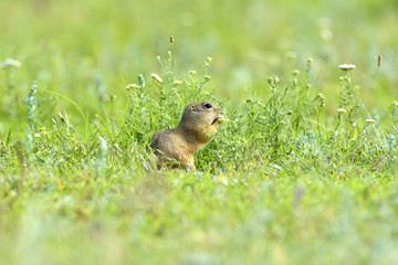 gopher in the nature