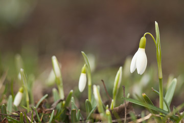 White snowdrop bell. Flower in the shape of a small bell. The first sign of spring.