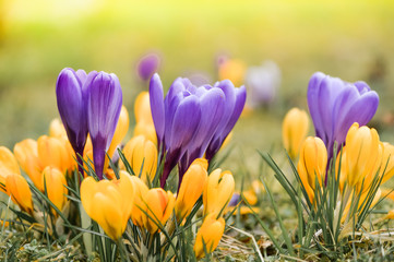 Fotobehang Krokussen Wiese mit zarten gelben und lila Krokussen, Ostergruß