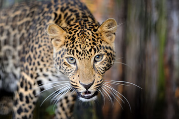 Wall Mural - Leopard in nature