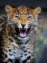 Fototapete - Leopard in nature