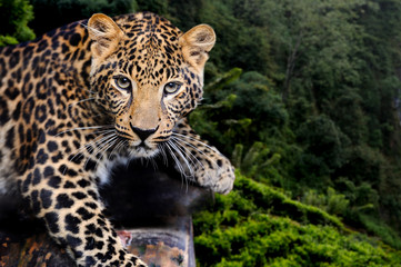 Deurstickers Panter Leopard in nature