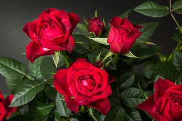 Close-up of red roses on a black background.