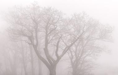 Trees in the fog - Shenandoah