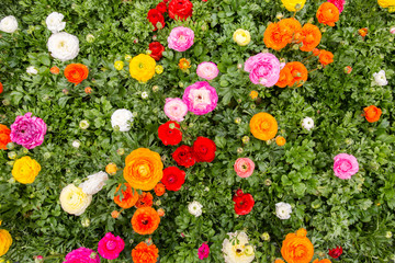 Overhead view of ranunculus flowers