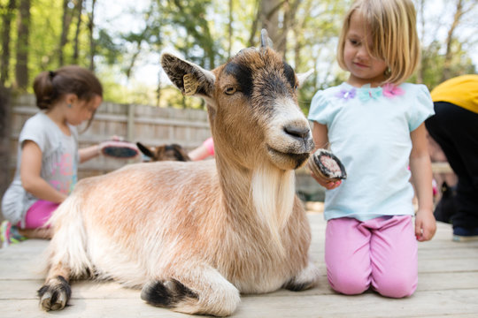 Girl grooming goat with brush at petting zoo