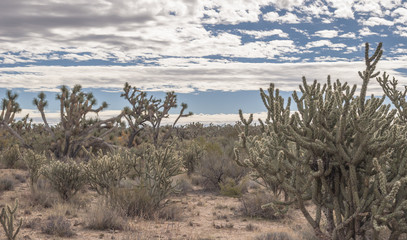 Looking across the Joshua Tree Forest with Stormy Skies in Arizona