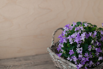 Little bellflower in gray wicker basket. Campanula are so wonderful in the garden or at home. Wood background. Mysterious spring mood.