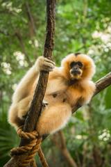 Orange Monkey in Tree