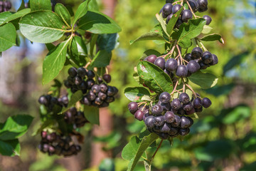 Bunches of black chokeberry