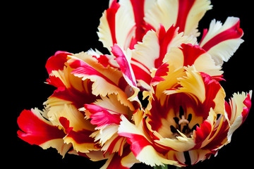 Bouquet of Flaming Parrot tulips, floral wallpaper