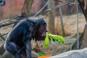 Old Chimpanzee Eating