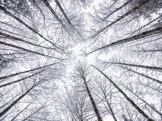 Looking Up at Snowy Sky Through Tree Tops in Winter Season with Fisheye Lens