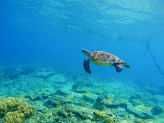 Snorkeling in tropic lagoon. Wild turtle swimming underwater in blue tropical sea.