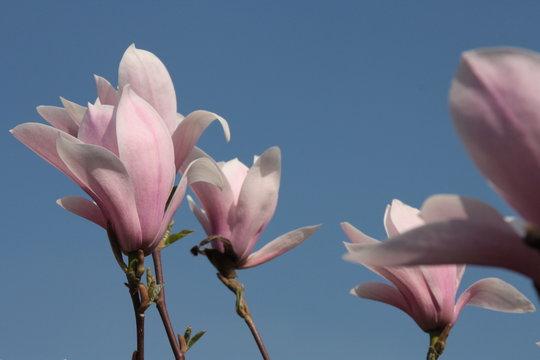 Magnolia loebneri Leonard Messel Blüte